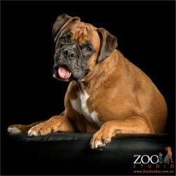 red boxer with tongue out