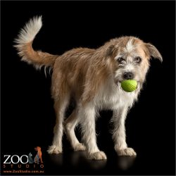tennis ball in mouth tan and white irish wolfhound cross