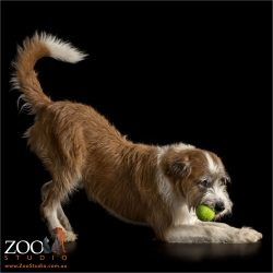 yoga position irish wolfhound cross with tennis ball
