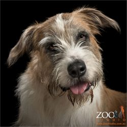 smiling tongue out irish wolfhound cross