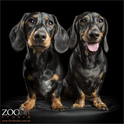 pair of black and tan dachshunds standing