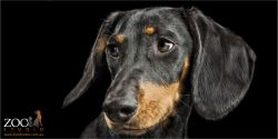 full face black and tan dachshund