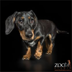 walking black and tan dachshund