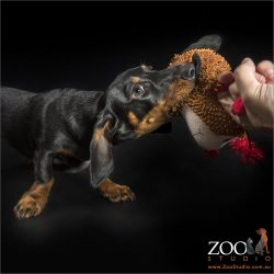 dachshund playing tug of war with owner