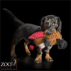 young black and tan dachshund playing with soft toy