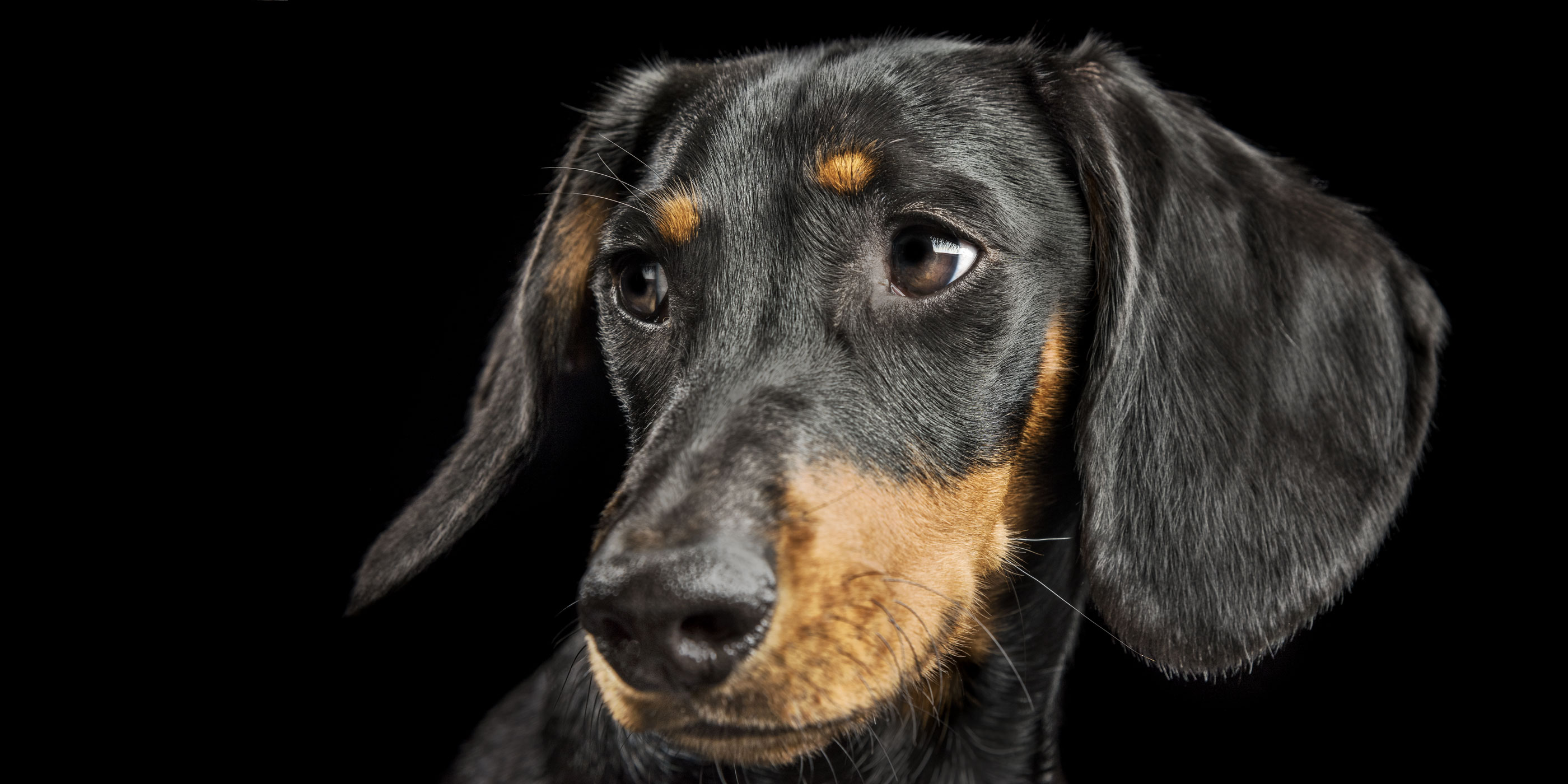 black and tan dachshund face