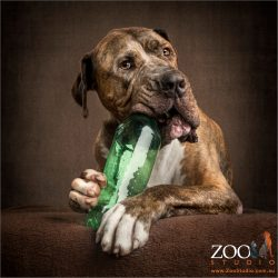 great dane cross neo mastiff chewing on green water bottle