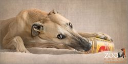 fawn greyhound eating from jar