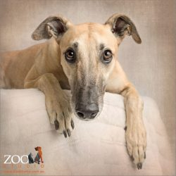 soulful faced greyhound