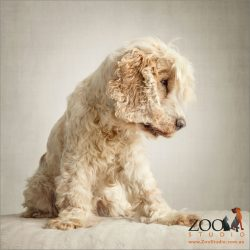 sitting profile cream cocker spaniel with big fringe