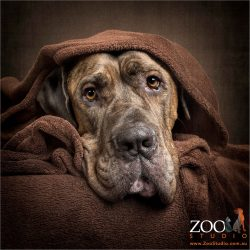great dane snuggled in brown blanket
