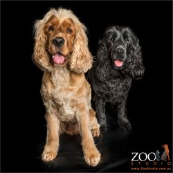 happy pair black and golden cocker spaniels