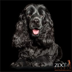 smiling black cocker spaniel