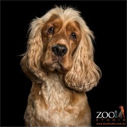 soulful face golden cocker spaniel