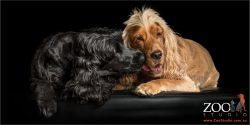 loving licks black and golden cocker spaniels