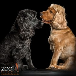 black and golden cocker spaniels profiles