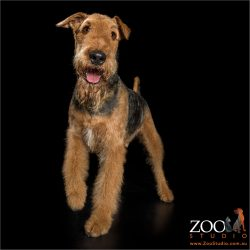 smiley face standing airedale