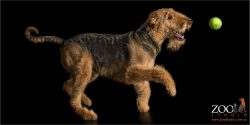 happy running airedale
