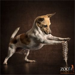 mini fox terrier feather dancing