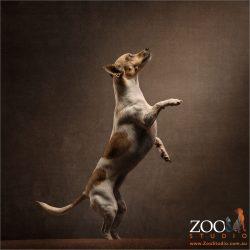 mini fox terrier standing on hind legs