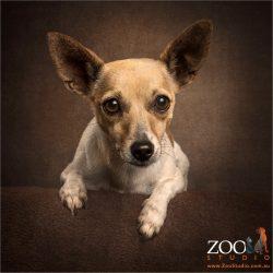 sweet faced large ears mini fox terrier cross