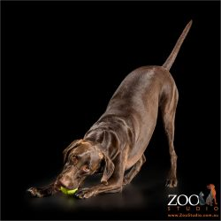 bowing with ball in mouth german short haired pointer