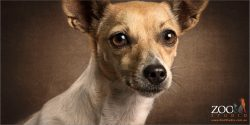 big eyed mini fox terrier cross