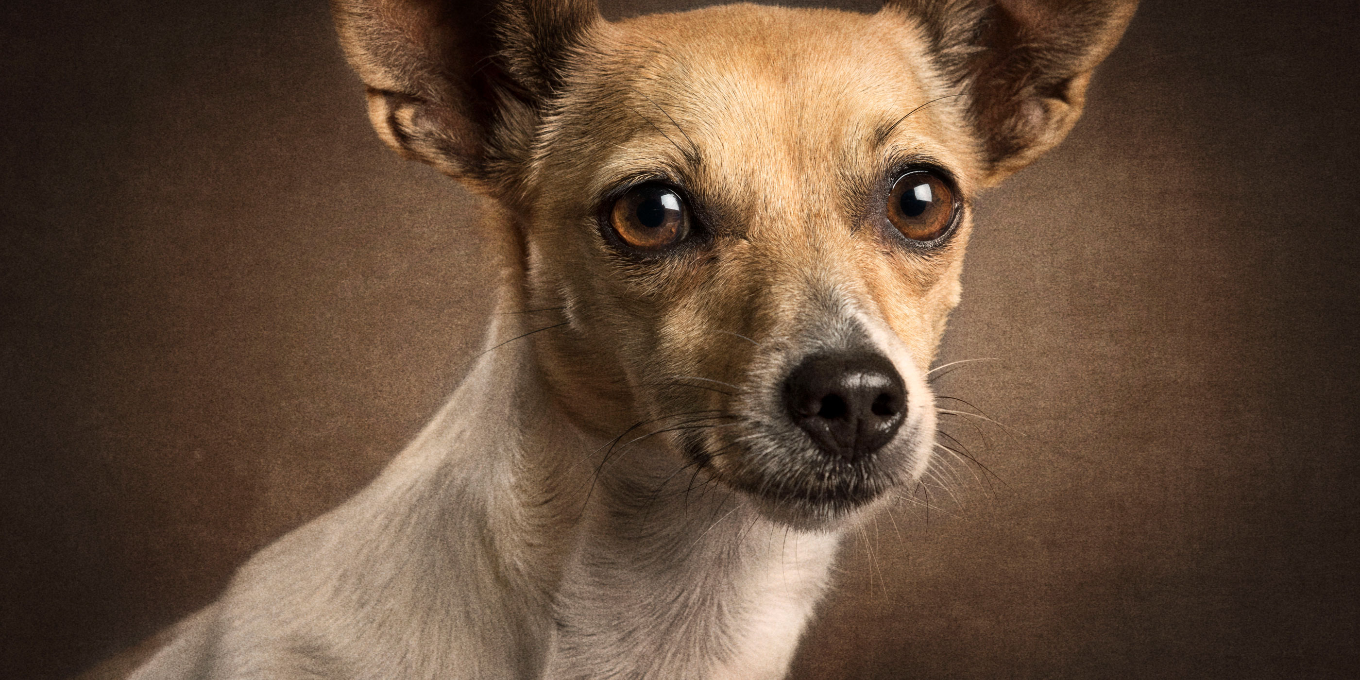 tan and white mini fox terrier cross