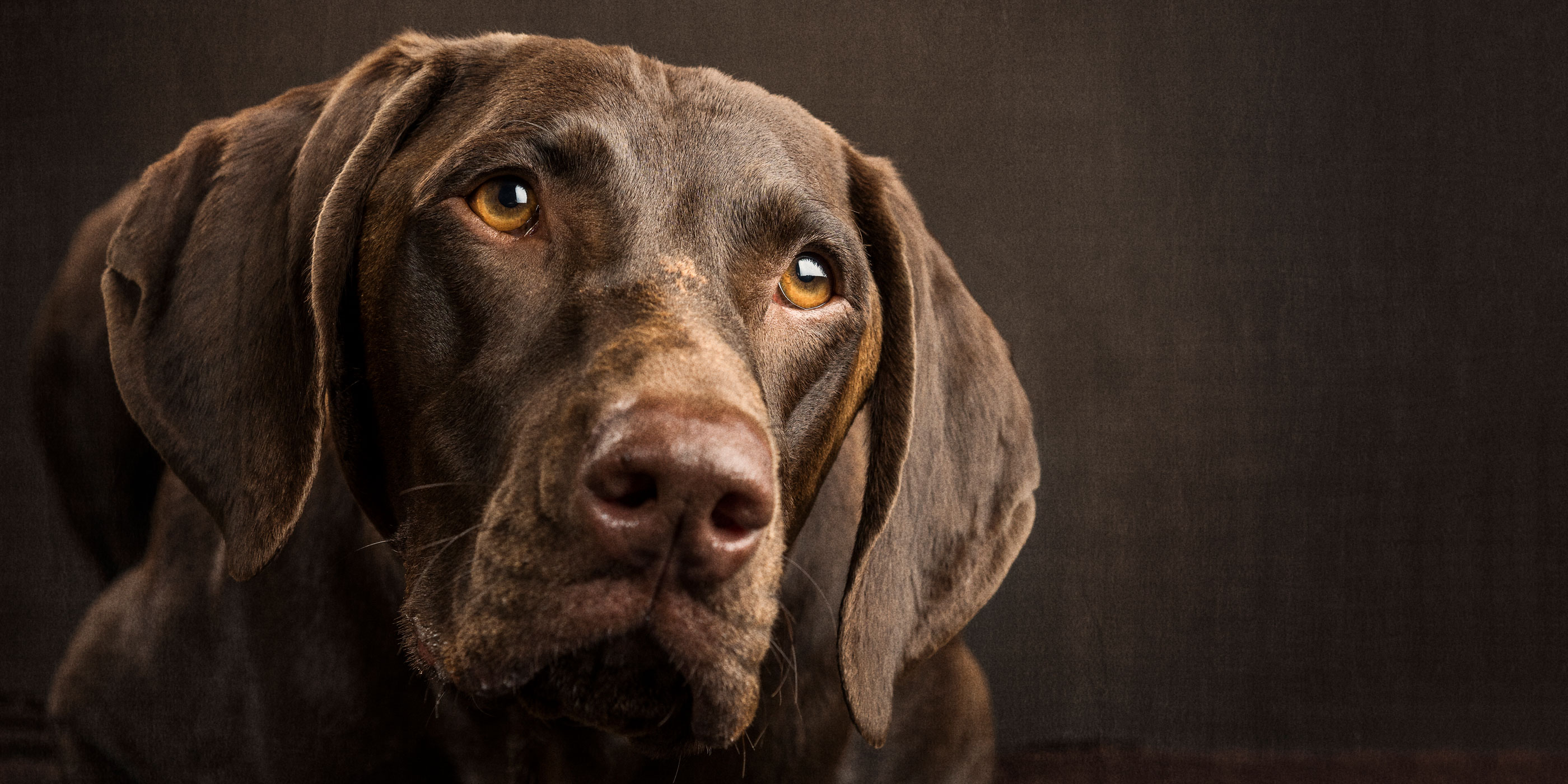 angelic faced german short haired pointer