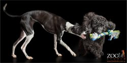 black poodle and italian greyhound playing tug of war