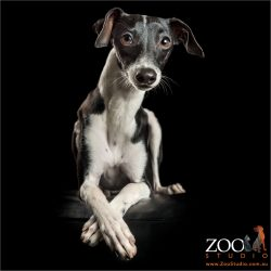 cross legged black and white italian greyhound