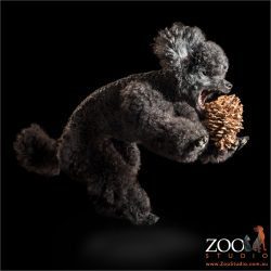 black toy poodle leaping at toy