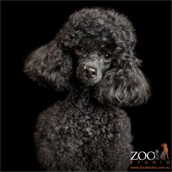 black toy poodle with fluffy ears