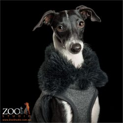 italian greyhound in fur collar