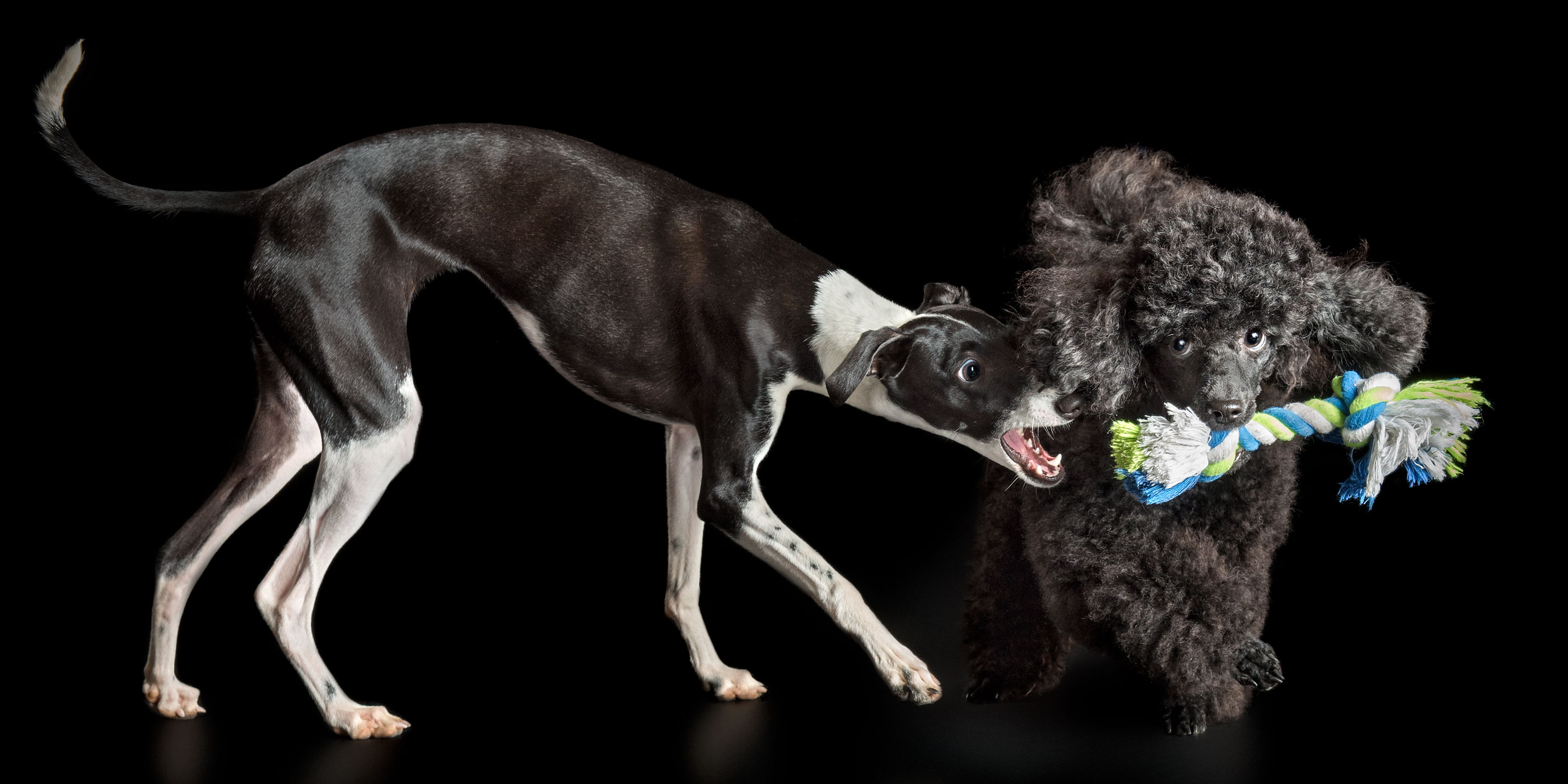 tug of war italian greyhound and toy poodle