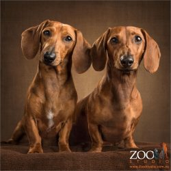 chestnut and tan mini dachshunds