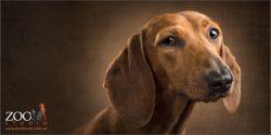 tan mini dachshund face long ears