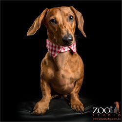 chestnut mini dachshund wearing trendy shit collar