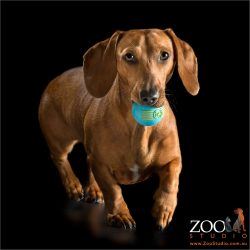 tan mini dachshund running with blue ball in mouth