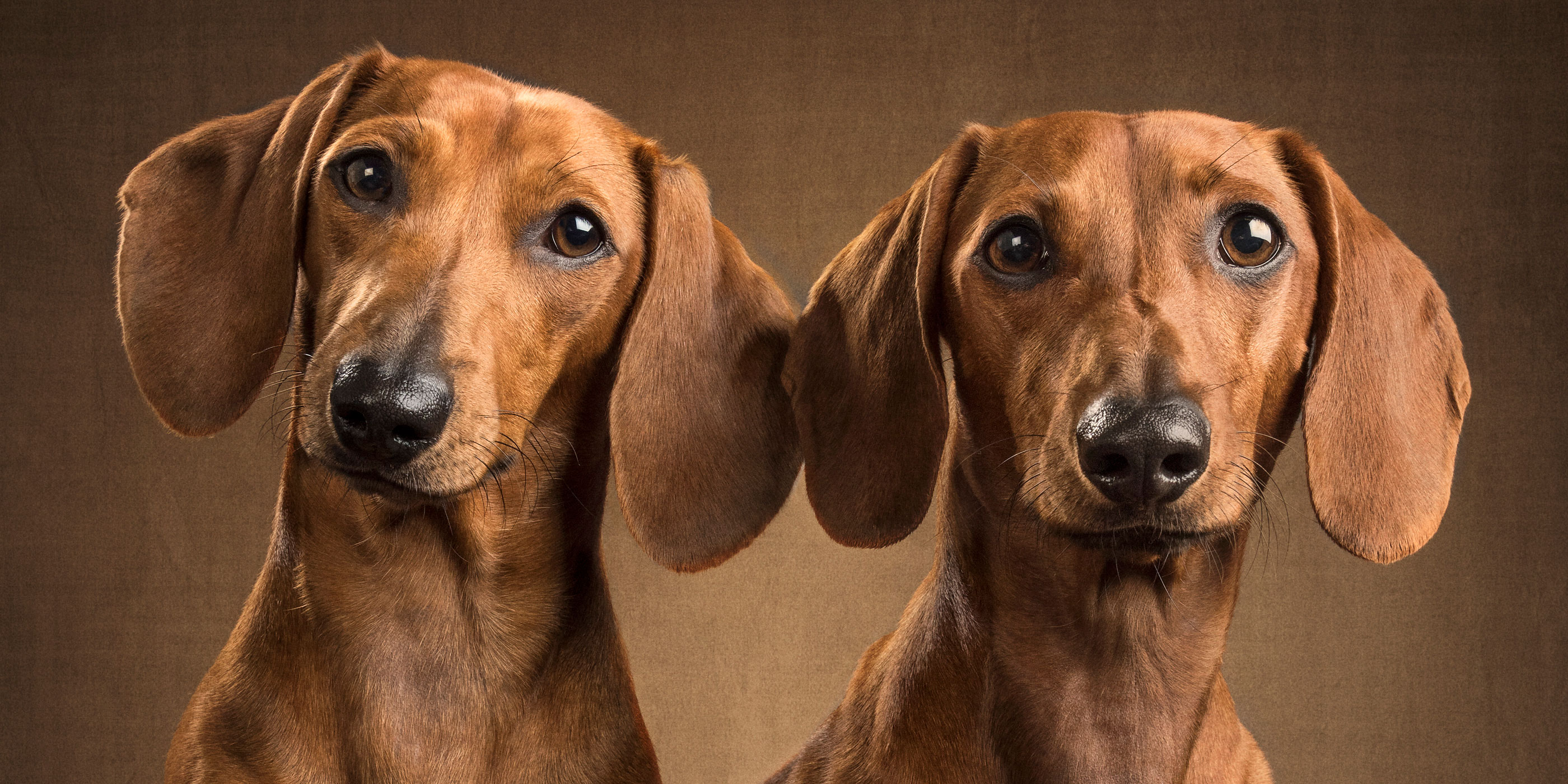 pair of mini dachshunds tan and chestnut