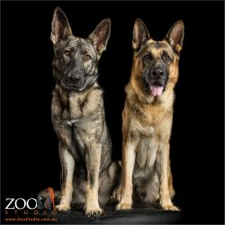 pair of german shepherds sitting together