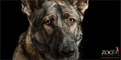 soulful german shepherd full face
