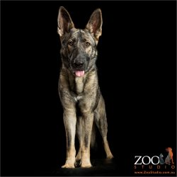 alert german shepherd standing