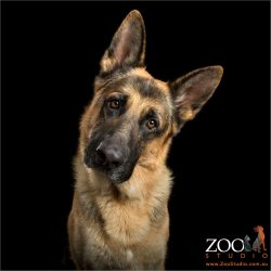 intently listening german shepherd dog