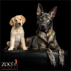 perfect pair golden retriever puppy with german shepherd