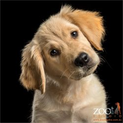 head tilt golden retriever puppy