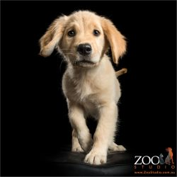 walking golden retriever puppy
