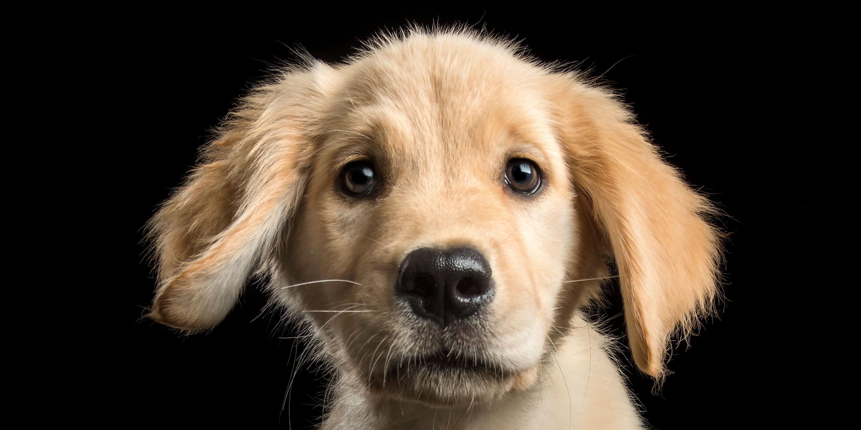floppy eared golden retriever puppy