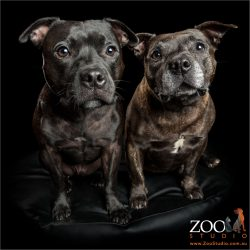 black and brindle staffy siblings