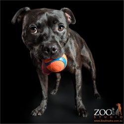 orange ball in mouth black staffy